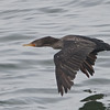 Double-crested Cormorant, Fish Docks, Pt Reyes National Seashore, 26-Oct-2013