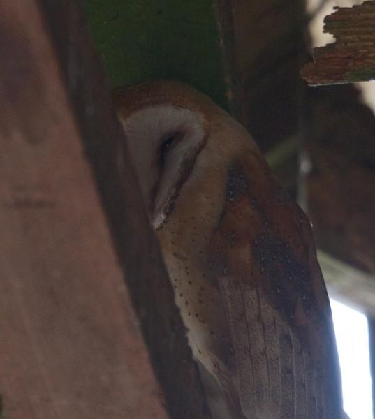 Barn Owl, in barn at Mendoza Ranch (B Ranch), Pt Reyes National Seashore, 26-Oct-2013