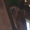 Barn Owl, in barn at Mendoza Ranch (B Ranch), Pt Reyes National Seashore, 26-Oct-2013