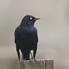 Brewer's Blackbird, Nunez Ranch (A Ranch), Pt Reyes National Seashore, 26-Oct-2013