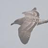 Western Gull (First Cycle), Fish Docks, Pt Reyes National Seashore, 26-Oct-2013