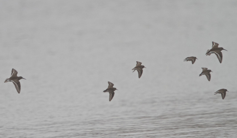 Dunlin and Least Sandpipers, Oyster Farm, Pt Reyes National Seashore, 26-Oct-2013