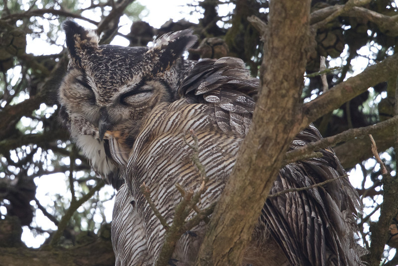 Great Horned Owl (preening), Mendoza Ranch (B Ranch), Pt Reyes National Seashore, 26-Oct-2013