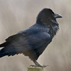 Common Raven, Nunez Ranch (A Ranch), Pt Reyes National Seashore, 26-Oct-2013