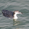 Common Loon, Fish Docks, Pt Reyes National Seashore, 26-Oct-2013