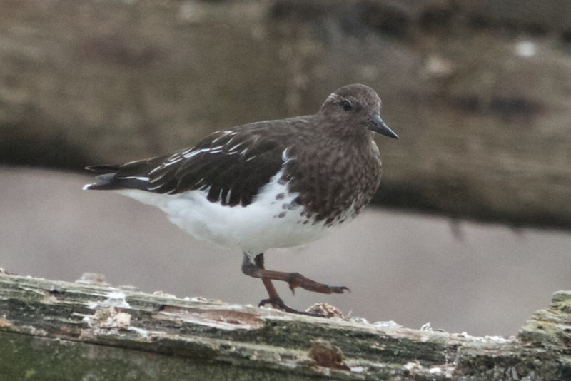 Black Turnstone, Oyster Farm, Pt Reyes National Seashore, 26-Oct-2013
