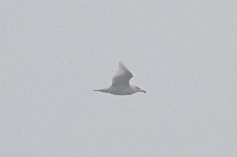 Glaucous-winged Gull, Fish Docks, Pt Reyes National Seashore, 26-Oct-2013