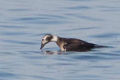 Long-tailed Duck, Point Emery, Emeryville, Alameda County, CA, 28-Nov-2013