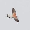 Lesser Kestrel (male)