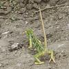 Flap-necked (Lobed) Chameleon