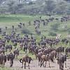 Wildebeest Herd and Zebra