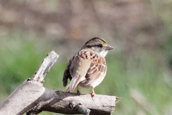 White-throated Sparrow, Ulistac Natural Area, 1-Mar-2014