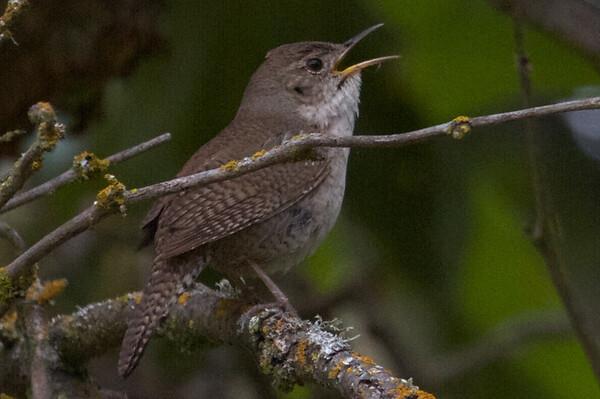2014-05-03 Sunol Regional Wilderness (PAAS)