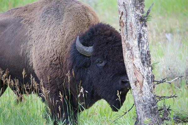 2014-08 Yellowstone National Park