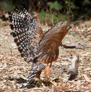#4. Red-shouldered Hawk loses the squirrel.  Vasona Lake County Park, Santa Clara County, CA, 11-Sept-2014