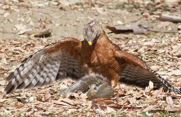 2014-09-11 Red-shouldered Hawk vs Squirrel, Vasona Lake County Park