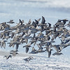 Western Sandpipers and Sanderlings in Flight
