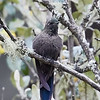 Blue-mantled Thornbill