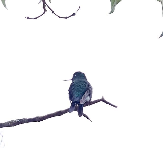 Sapphire-vented Puffleg