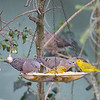 Saffron Finches with Eared Doves