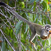 Ecuadorian Squirrel Monkey
