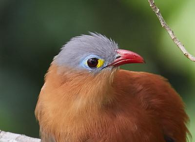 Black-bellied Cuckoo Portrait