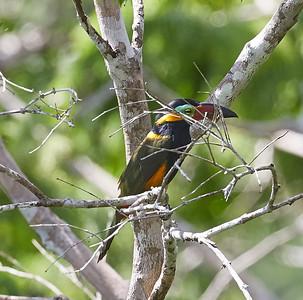 Golden-collared Toucanet