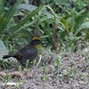 Yellow-breasted Brush-Finch