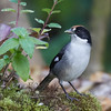 White-winged Brushfinch
