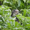 Green Iguana on top of a Bush