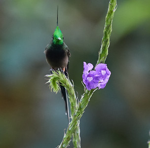 Wire-crested Thorntail (male)