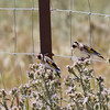 European Goldfinches Munch on Thistles