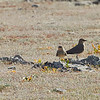 Two Collared Pratincoles Standing on a Rock