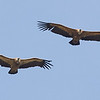 Eurasian Griffons Flying in Tandem