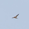 Pin-tailed Sandgrouse in Flight