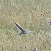 Calandra Lark in Flight Showing White Trailing Edge on Wings