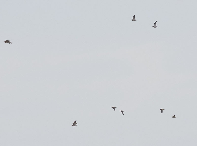 Pin-tailed Sandgrouse Flying By