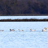 Tundra Swans, Snow Geese, and one Ross's Goose