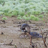 Pied-billed Grebe with Crawfish