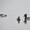 Three Male Ring-necked Ducks