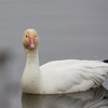 Snow Goose from our car window
