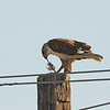 Ferruginous Hawk with Prey