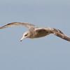 Herring or California Gull