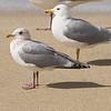 Iceland (Thayer's) Gull and California Gull