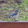 California Scrub-Jay with an Attitude