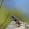 Western Fence Lizard (with bug)