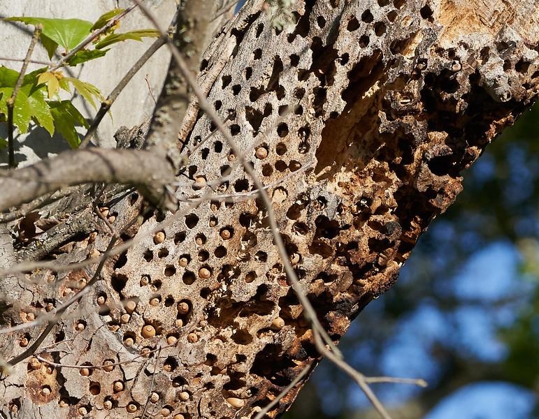 Woodpecker Acorn Granary