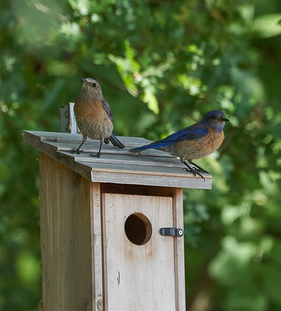 A Pair of Western Bluebirds on top of a Nest Box