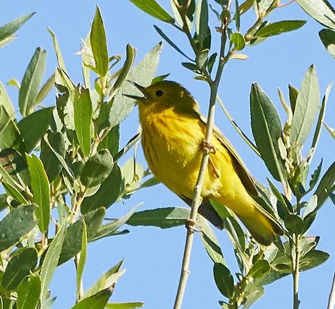 Singing Yellow Warbler