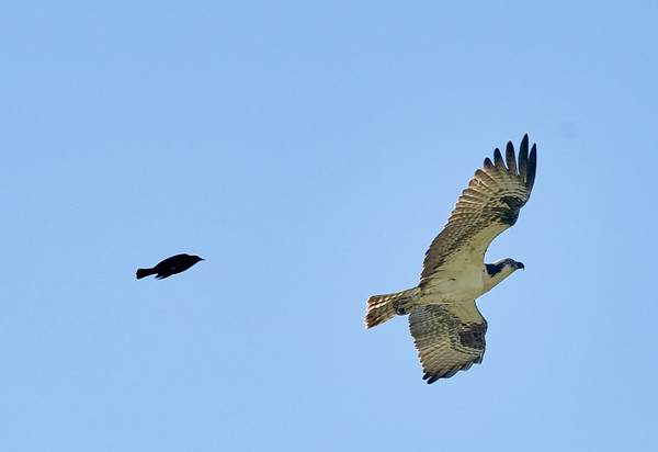 Osprey being chased by Red-winged Blackbird